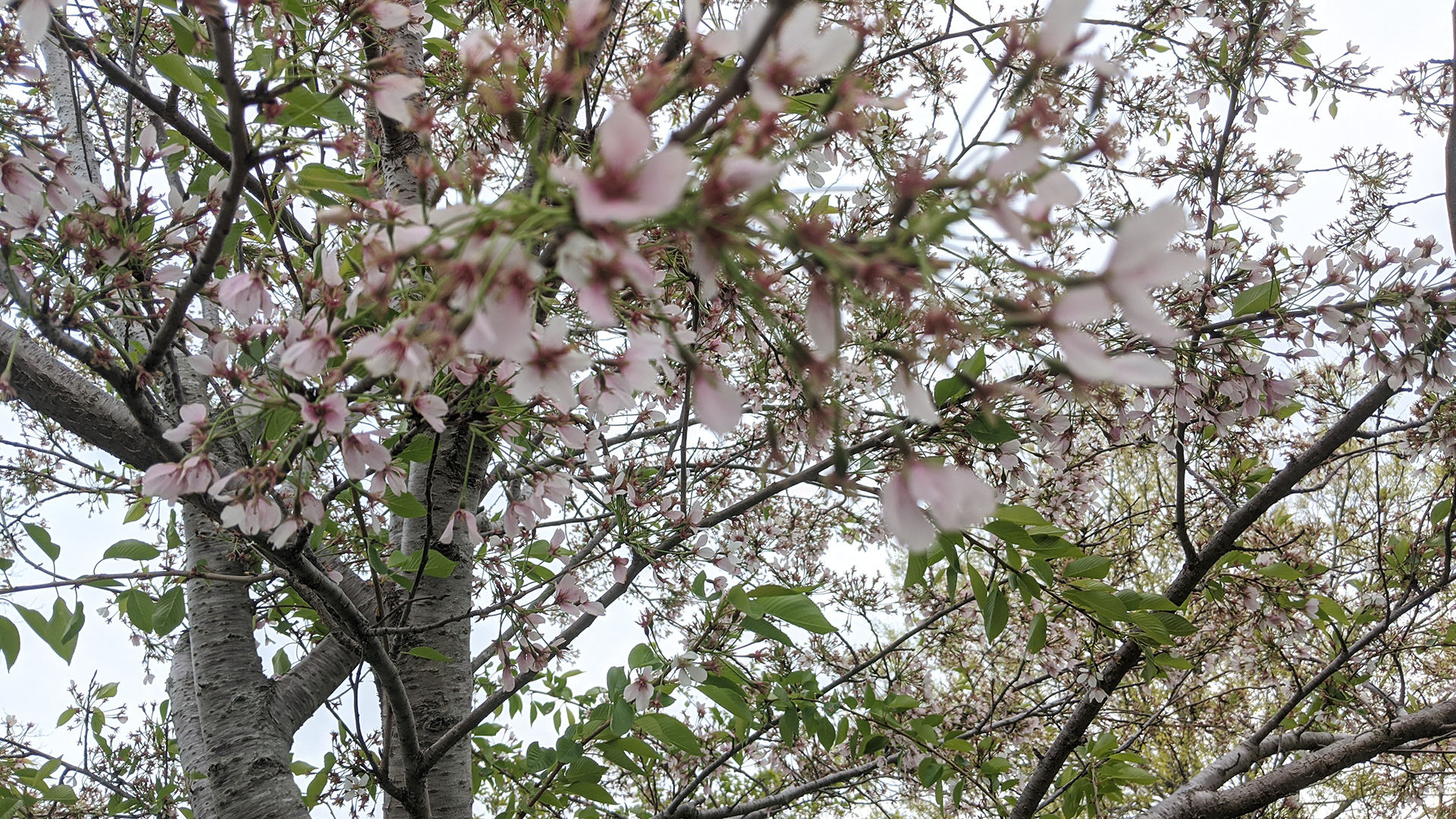 5/13/20 Jackson Park Cherry Blossoms 2