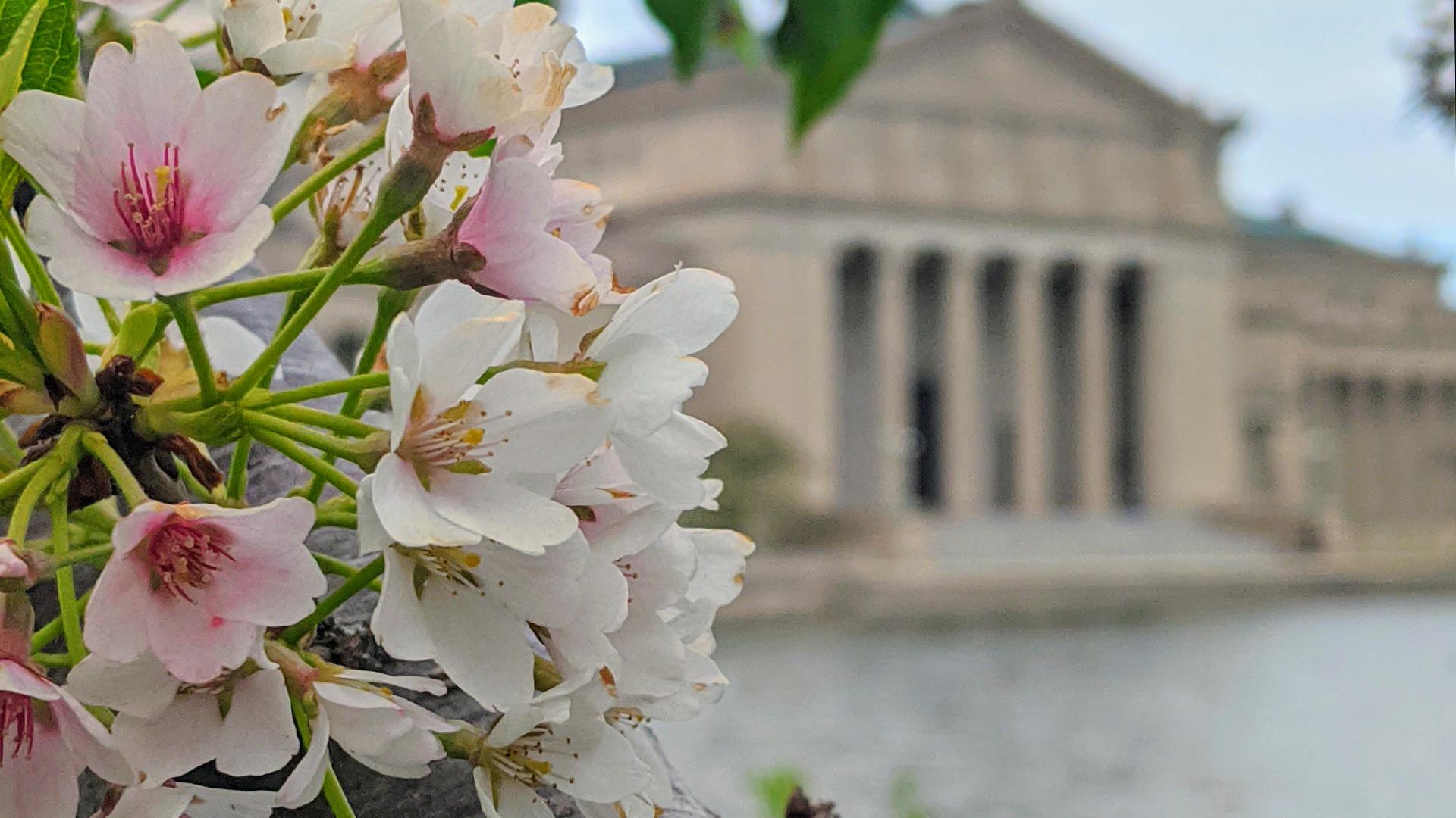 5/13/20 Jackson Park Cherry Blossoms 1