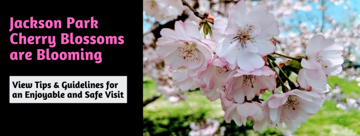 Jackson Park Cherry Blossoms are blooming now.  Click here for guidelines and tips to have an enjoyable and safe visit.