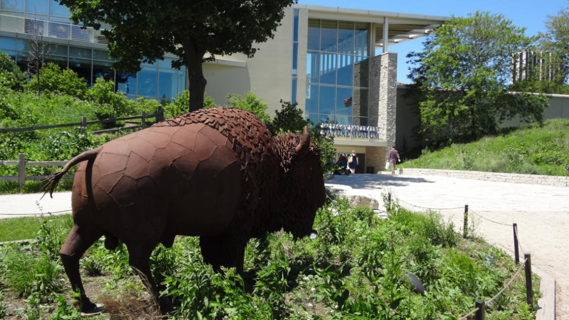 Installed in a bed of native plantings, the American Bison looks as though it is grazing, 2013.