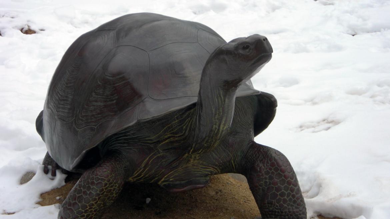 Galapogos Tortoise was also sculpted by Tom Tischler, 2010.
