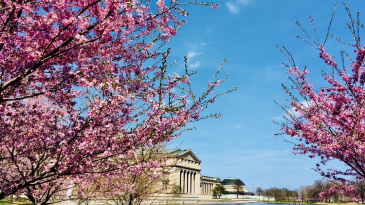 More than 150 cherry blossoms in Jackson Park are getting ready to bloom.