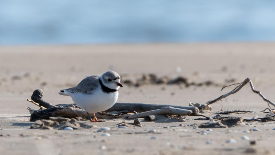 Piping Plovers return to Chicago's shoreline.