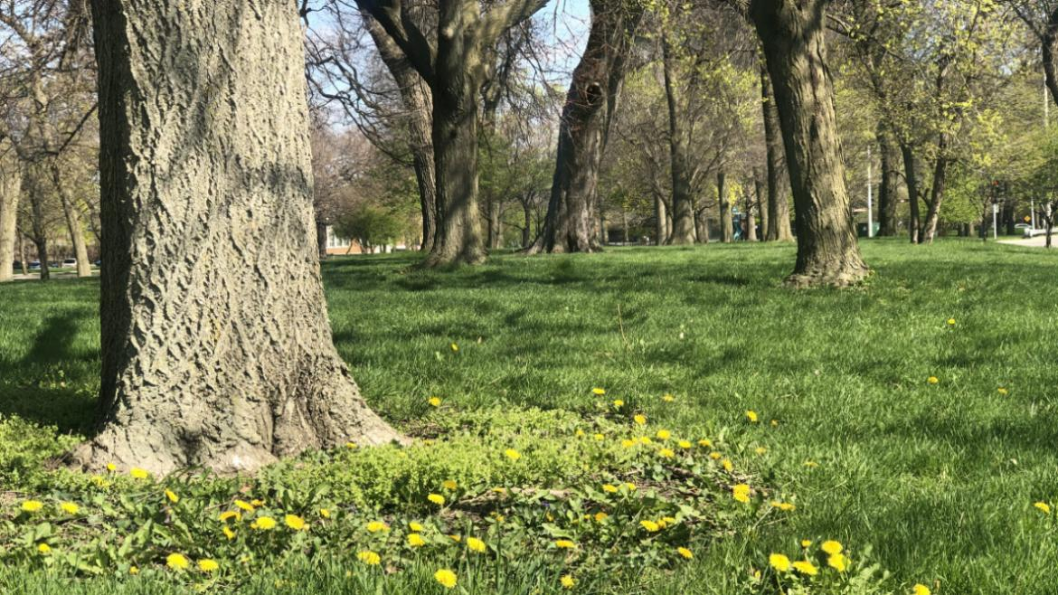 Dandelions in our parks are signs that the Chicago Park District has limited the use of chemicals that are typically sprayed to control weeds.