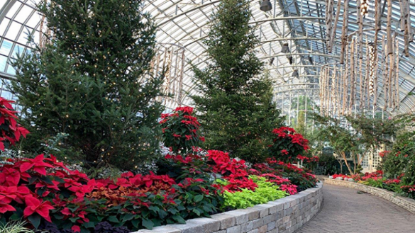 "Towering fir trees, poinsettias of maroon and gold, and massive birch chandeliers are on display at the Garfield Park Conservatory Holiday Flower Show ""Invisible Forces,"""