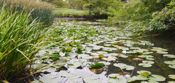 Water lilies at Columbus Park